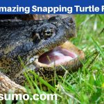 11 Amazing Snapping Turtle Facts