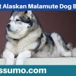 Giant Alaskan Malamute Dog Breed