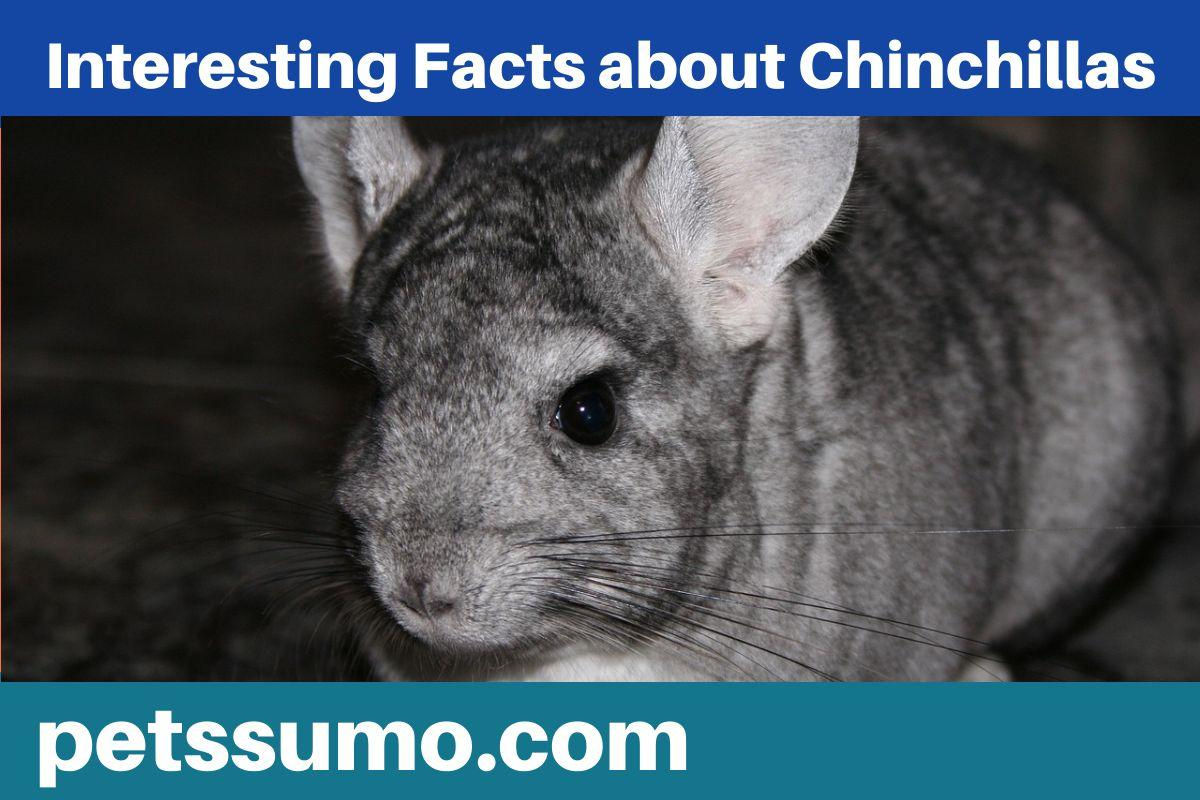 Interesting Facts about Chinchillas