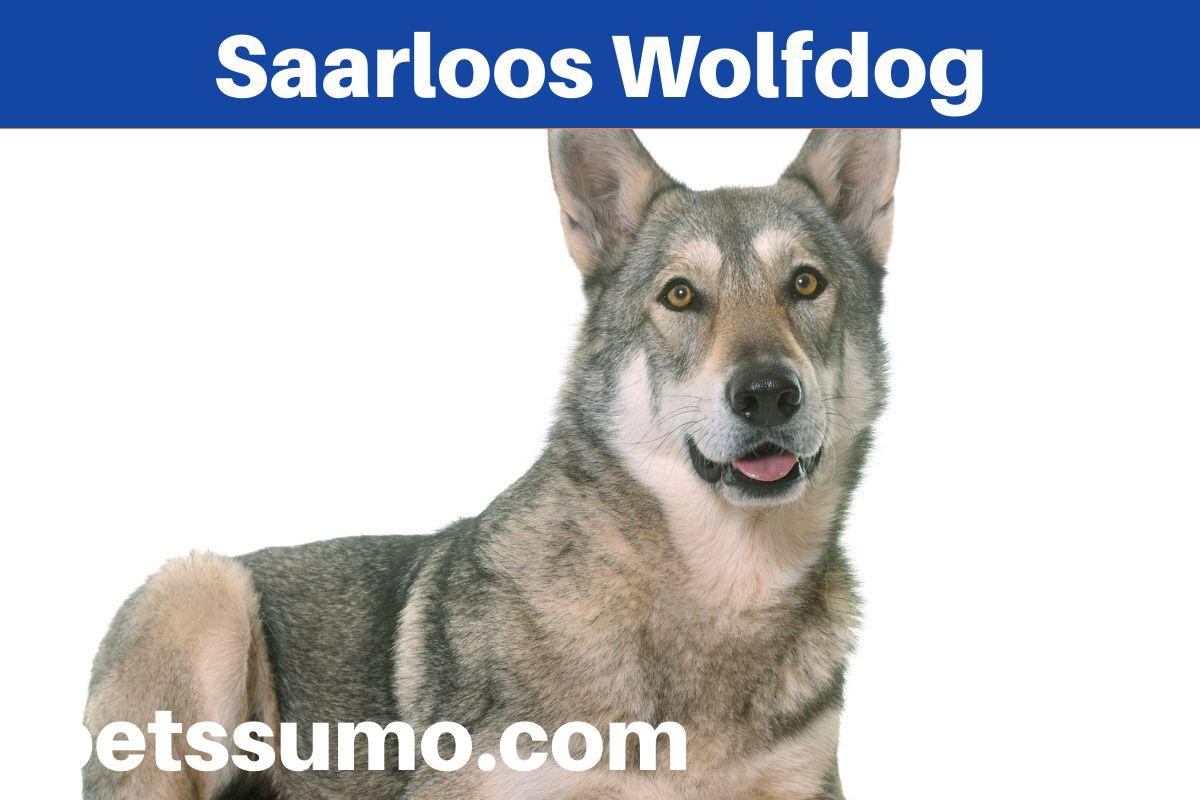 Saarloos Wolfdog Dog Breed Facts and Information