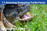 11 Amazing Snapping Turtle Facts, Habitat and Diet
