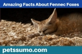 Fennec Fox Facts – Amazing Facts About Fennec Foxes