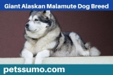 Giant Alaskan Malamute Dog Breed – Information, Facts and Characterstics