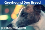 Greyhound Dog Breed – Information, Characteristics and Facts