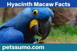 Hyacinth Macaw Facts – An Endangered Species
