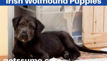 Irish Wolfhound Puppies Dog Breed Information and Facts