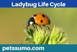 Ladybug Life Cycle – 4 Stages of the Ladybug Life Cycle