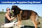 Leonberger Puppies Dog Breed Information and Characterstics