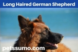 Long Haired German Shepherd – Interesting Facts To Know