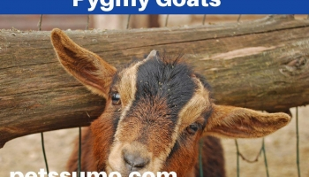 Pygmy Goats Miniature Goat Breed Facts and Information