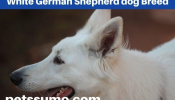 White German Shepherd Dog Breed- A Complete Guide