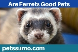 Are Ferrets Good Pets? Ferrets Facts and Information