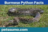 Burmese Python Facts – Habitat, Diet and Interesting Facts