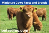 Miniature Cows Facts and Breeds- All You need to know About Miniature Cows
