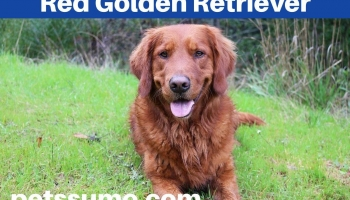 Red Golden Retriever Dog Breed Facts, Information, Charactersitics