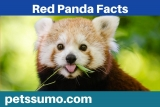 Red Panda Facts – Furry Facts about Red Pandas