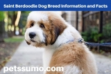 Saint Berdoodle Dog Breed Information and Facts