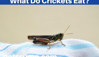 What Do Crickets Eat? Your Pets Food Guide